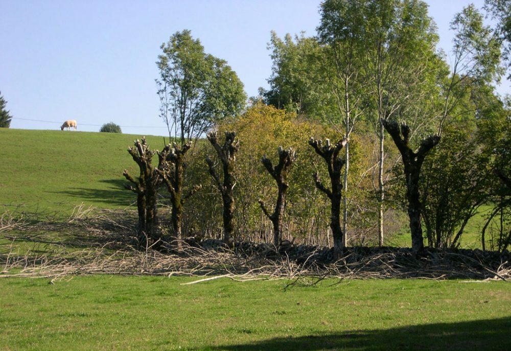 Les frênes tétards doivent leur silhouette à l'émondage pour la production fourragère des feuilles