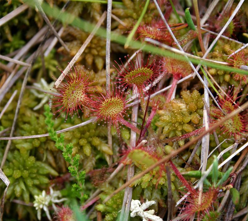 Drosera rotondifolia et sphaigne des marais