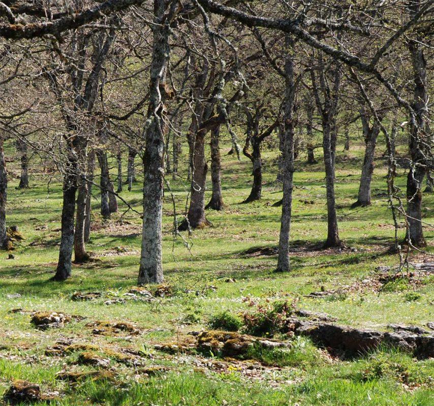Le chêne pubescent domine souvent sous forme de forêts pâturées