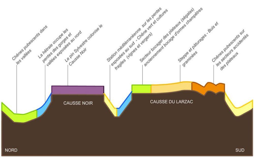 Coupe : répartition de la végétation entre les Grands Causses et Avant-causses