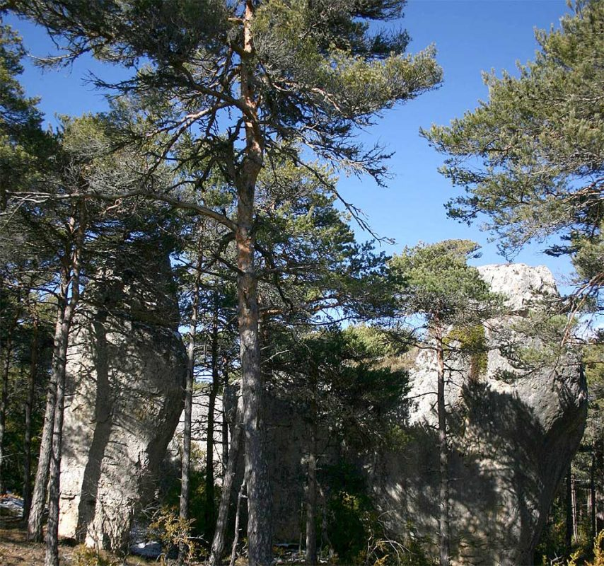 Le pin sylvestre marque l'influence montagnarde