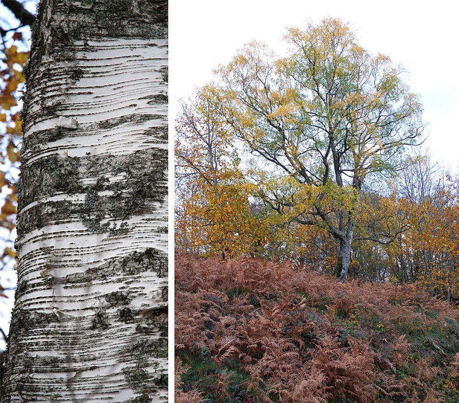 L'écorce remarquable du bouleau, arbre pionnier, anime les sous bois.