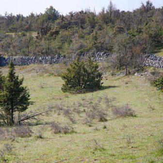 Les pelouses envahies par le genévrier se ferment peu à peu