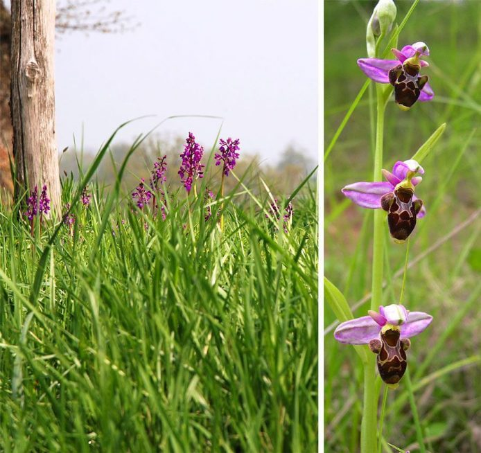 Orchis bouffon / Orchis morio et Ophrys bécasse / Ophrys scolopax